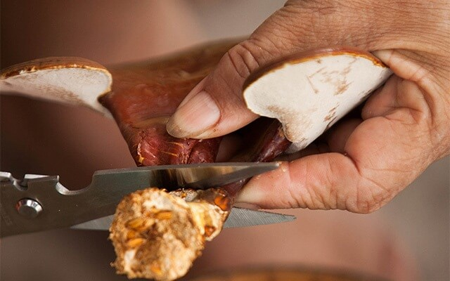 Ganoderma need to be harvested in a timely manner