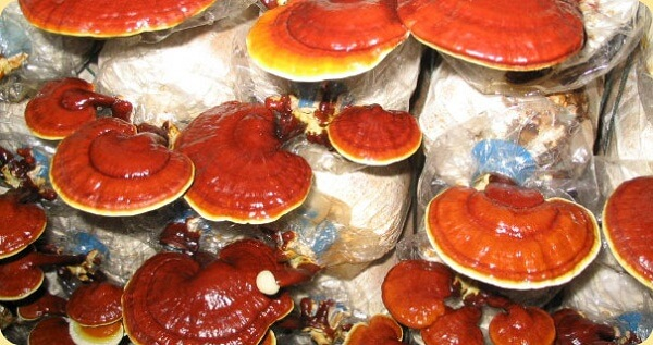 Nấm linh chi đỏ Việt Nam có công đoạn nuôi trồng phức tạp