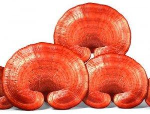 Sử dụng nấm linh chi đỏ nguyên tai để giữ nguyên được nhiều dưỡng chất