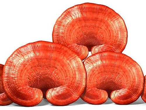 Use red ear Ganoderma to keep many nutrients