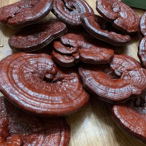 Nấm linh chi đỏ có nhiều công dụng cho sức khỏe