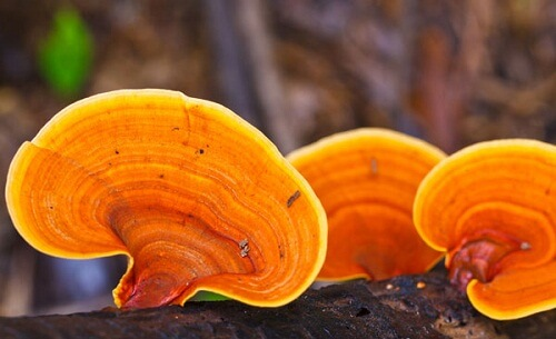 Ganoderma is well known for its amazing uses for health