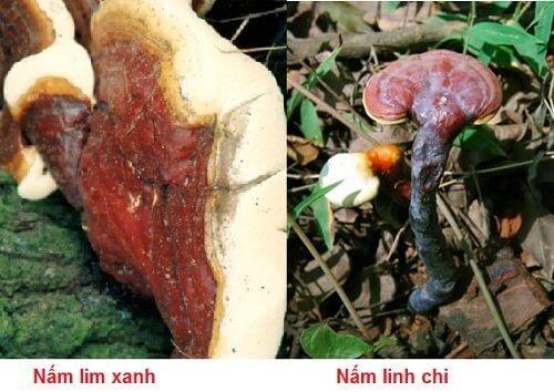 Green lim mushroom and lingzhi have many similarities