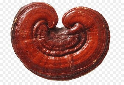 Nấm linh chi có hàm lượng dược tính tính thấp hơn nấm lim xanh
