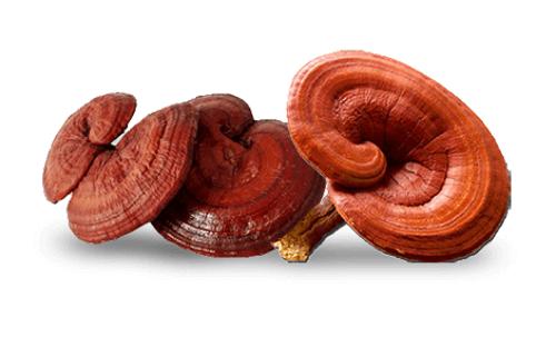 Ganoderma has many types