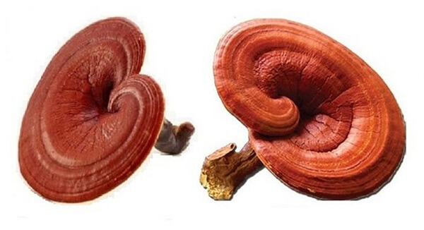 The option of treating asthenia with Ganoderma is absolutely right