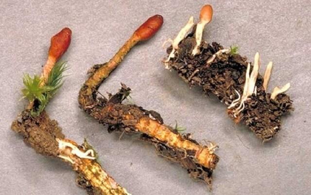 Trùng thảo tươi mọc trên cao nguyên Tây Tạng với độ cao khoảng 4.000 – 5.000m