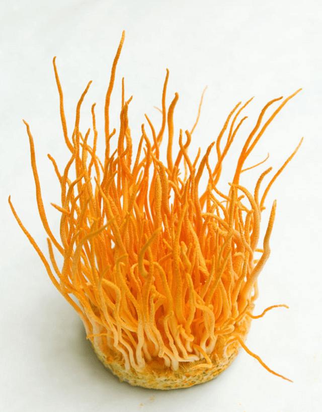 Đông trùng hạ thảo dạng sợi có nguồn gốc từ đông trùng hạ thảo sinh khối