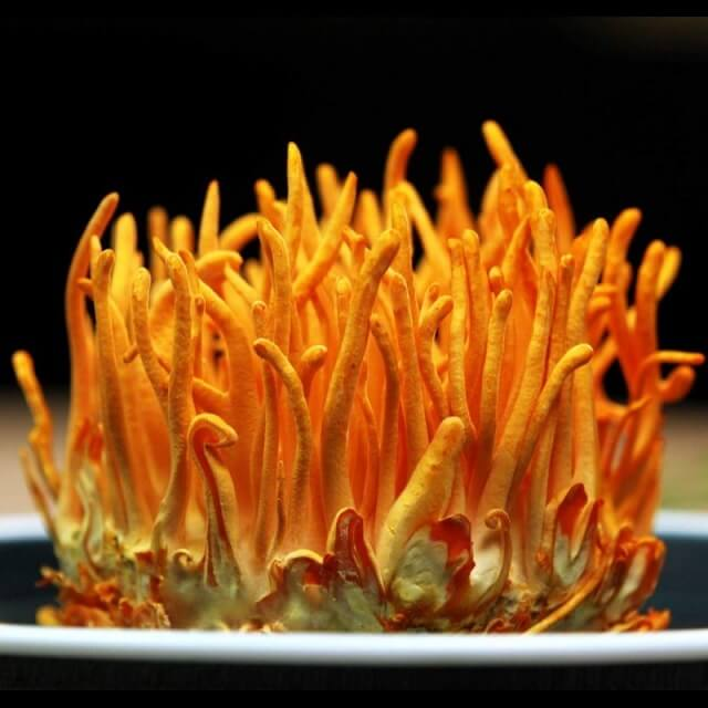 Cordyceps is a rare medicinal material