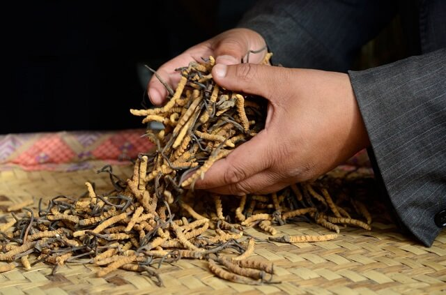 Natural Cordyceps price is very expensive