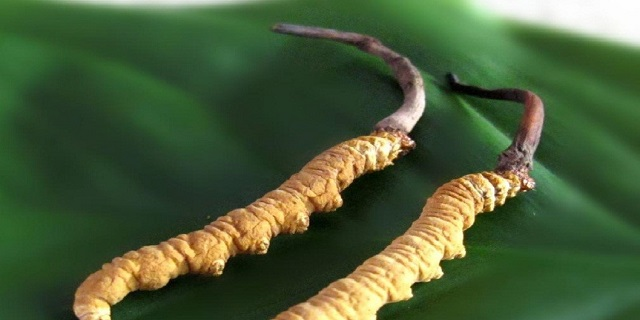 Natural Cordyceps are hunted by many people