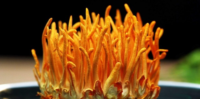 American cordyceps are cultured under strict conditions