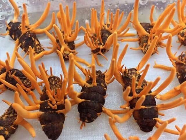 Đông trùng hạ thảo Hàn Quốc cũng lấy giống từ trùng thảo Tây Tạng