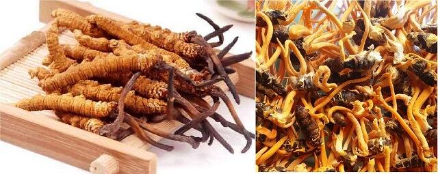 Trùng thảo nhân tạo Malaysia có chất lượng khá tốt so với trùng thảo tự nhiên