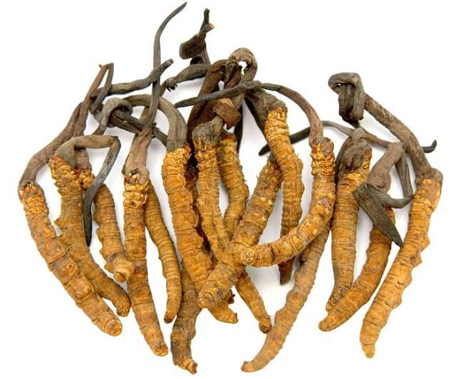 Nong Lam cordyceps have perfect quality