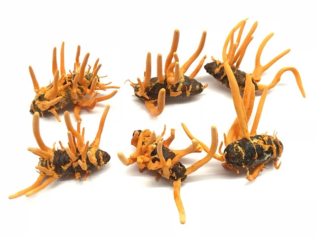 Cordyceps in Singapore are relatively good quality
