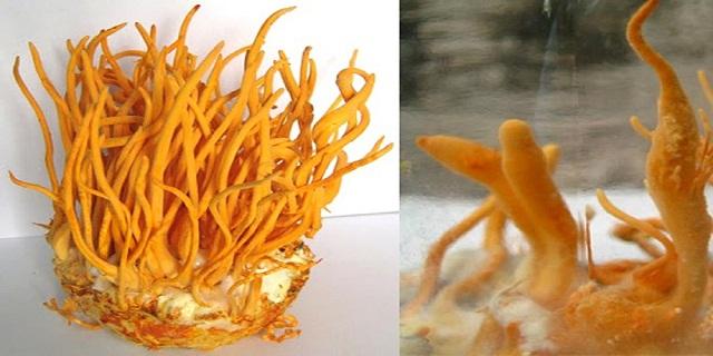 Đông trùng hạ thảo xịn có hương thơm dễ chịu