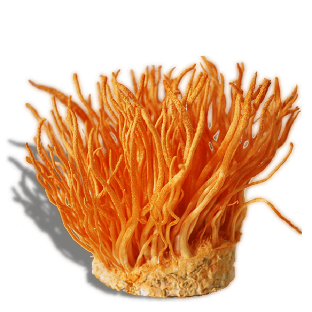 You can contact Linh Chi Nong Lam to buy quality cordyceps
