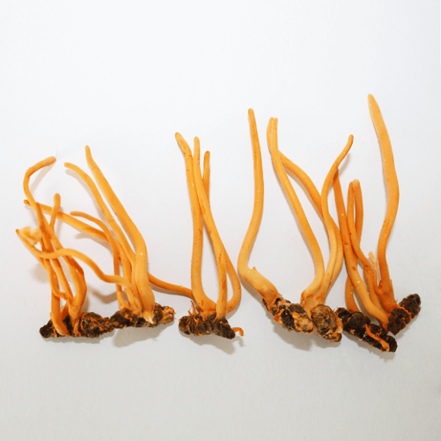 Countries have successfully researched and applied artificial cordyceps farming