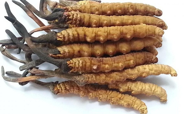 Tibetan cordyceps are very rare