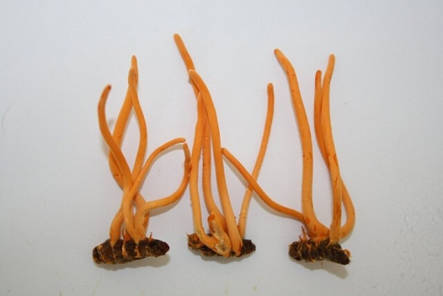 Cordyceps in the whole