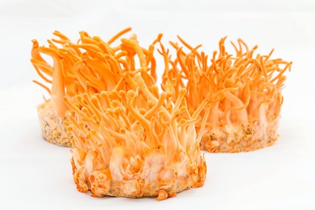 Cordyceps Himalaya biomass is cultivated according to strict procedures should be of good quality