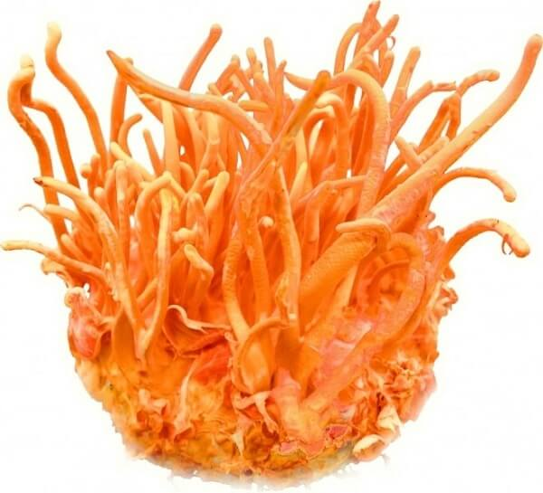 Cordyceps products ensure to be cultivated in the best conditions