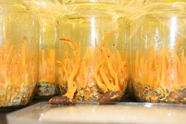 Fresh cordyceps in the form of Van An brand biomass