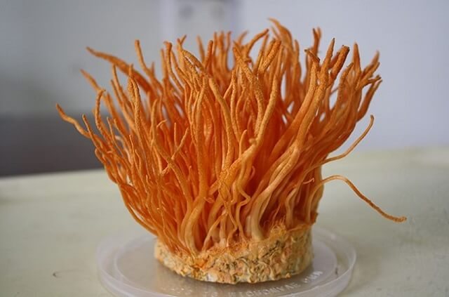 Vietfuji cordyceps culture process is quality assurance and is strictly monitored
