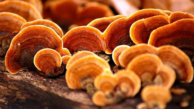 Korean reishi mushroom has many benefits for human health