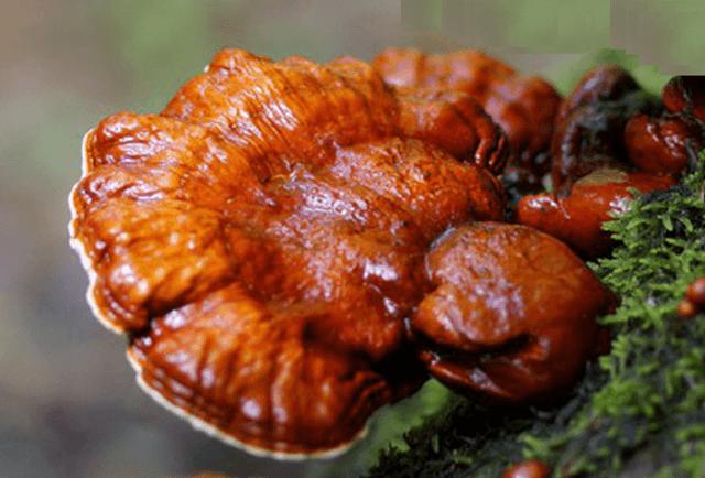 Nấm linh chi là loại nấm được nằm trong hai quển sách nổi tiếng Thần nông bản thảo và Bản thảo cương mục