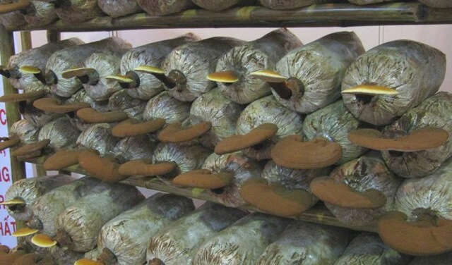 The Hoang Gia mushroom farm meets the quality requirements in Ganoderma cultivation