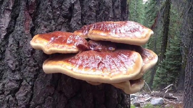 Ganoderma has mechanisms of indirect effect on the human body