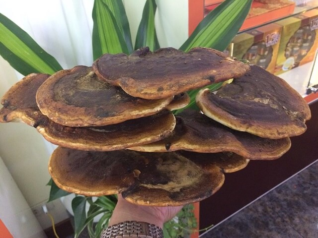 Ganoderma red brings many great uses for health