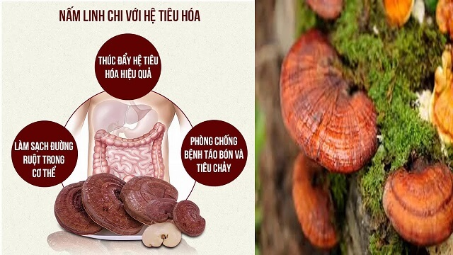 Ganoderma has great effects on the immune system