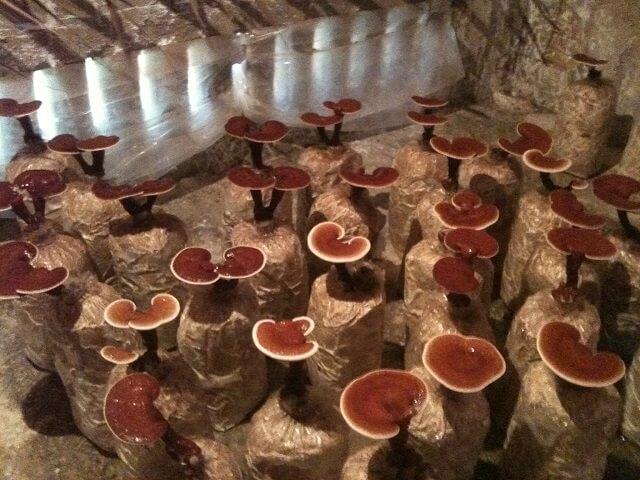 Ganoderma red is effective in preventing disease