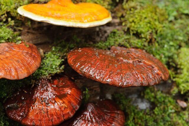 Nấm linh chi mang đến khả năng kháng khuẩn và kháng virus mạnh mẽ