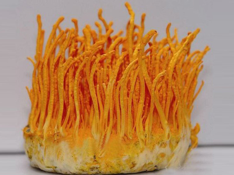 Đông trùng hạ thảo là nguyên liệu cốt lõi để điều trị chứng bệnh về thần kinh