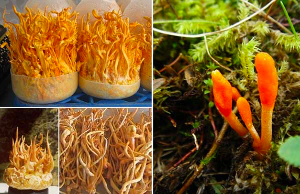 Important things to know about biomass cordyceps
