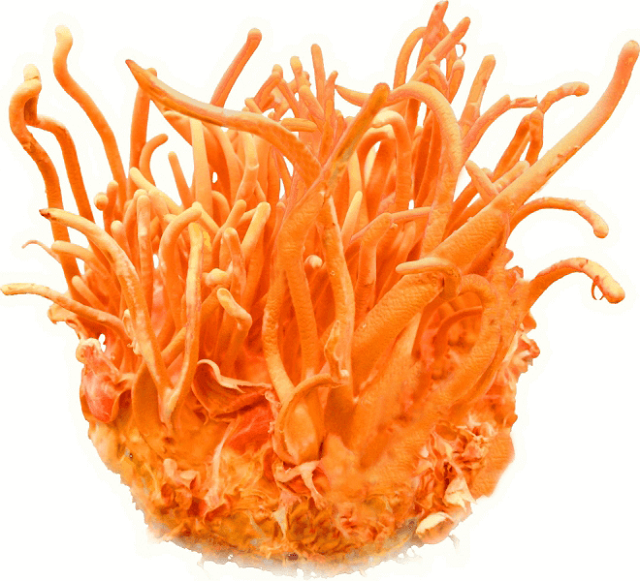 People with good health should only use 1g of cordyceps once
