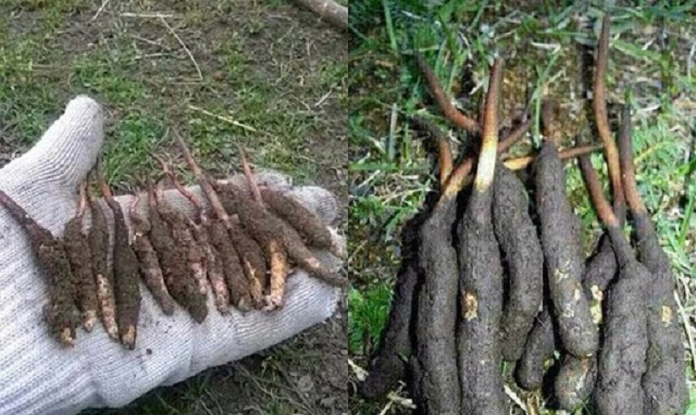 Cordyceps is found in Tibet