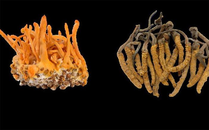 Đông trùng hạ thảo tươi và khô có nhiều điểm khác nhau