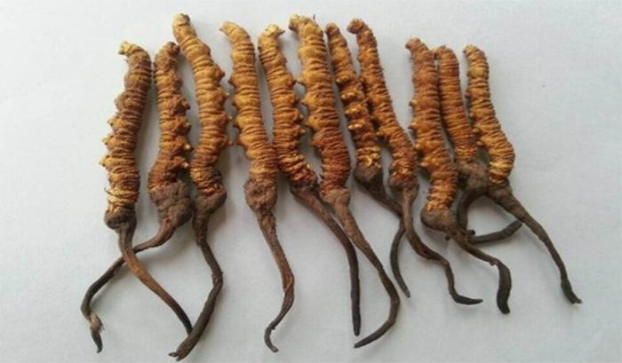 Đông trùng hạ thảo với phần sâu và phần thân thảo
