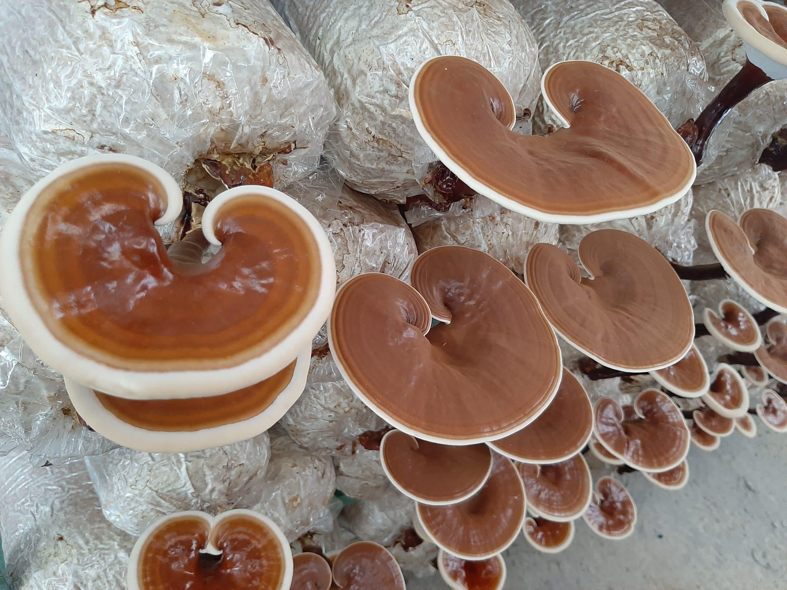 Nấm linh chi được nuôi trồng từ công ty Linh Mộc Sơn.