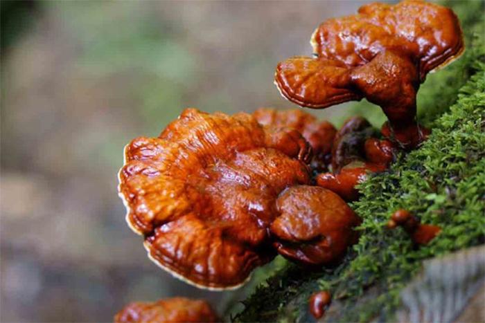 Phân loại nấm Linh Chi theo nguồn gốc