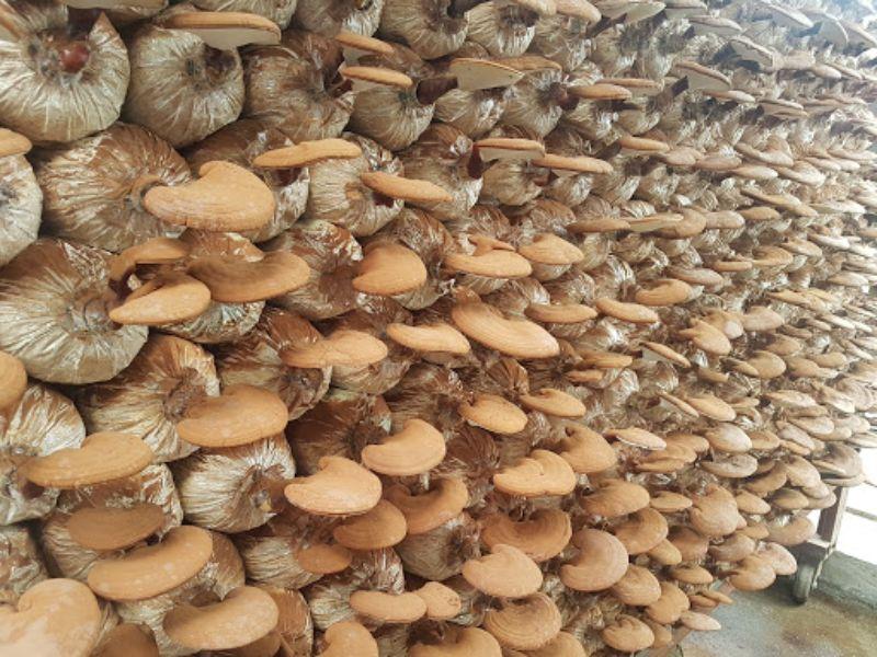 Nấm Linh Chi tại trại nấm Tiên Thảo
