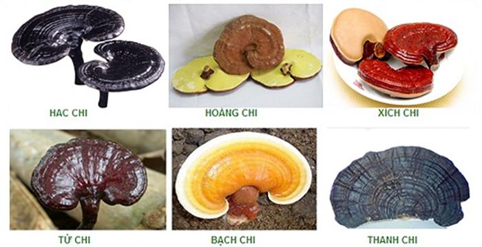 Phân loại nấm Linh Chi Bình Định